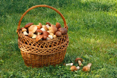 Wicker basket full of mushrooms in the forest clearing. Royalty Free Stock Photo