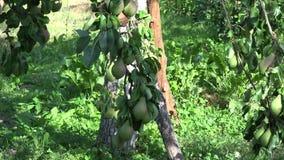 Wicker basket full of organic pear fruits under fruiter tree in orchard garden. Tilt up. 4K stock footage