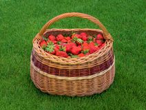 Wicker basket full of ripe garden strawberries on green grass. Fresh home grown strawberry in basket. Wicker basket full of ripe garden strawberries on green stock photo