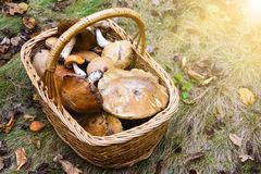 Wicker basket full of various edible kinds of mushrooms in a autumn forest. Wicker basket full of various edible kinds of mushrooms in a forest Royalty Free Stock Photo