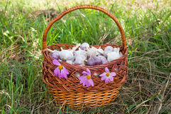 Wicker basket with garlic is on the grass Royalty Free Stock Photo
