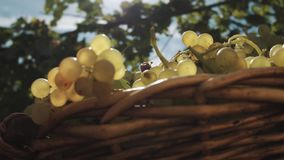 Wicker basket with grapes on table at vineyard stock footage