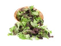 Wicker basket with lettuce leaves. Royalty Free Stock Photo