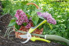 Wicker basket with lilac flowers, pruner and rake on trunk of fallen tree. Wicker basket with lilac flowers and leaves, pruner and hand rake on trunk of fallen royalty free stock photo