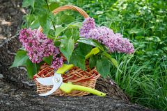 Wicker basket with lilac flowers, pruner on trunk of fallen tree. Wicker basket with lilac flowers and leaves, hruner on trunk of fallen tree with green grass in stock photos