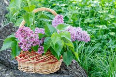 Wicker basket with lilac flowers on trunk of fallen tree with gr. Een grass in the background Stock Images