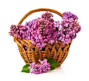 Wicker basket with lilac Stock Image