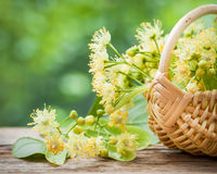 Wicker basket with lime flowers. Wicker basket with lime flowers, herbal medicine Stock Photography