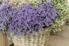 In a wicker basket limonium gmelinii, statice or sea lavender flowers in lavender-blue color in the garden shop. Horizontal stock photography