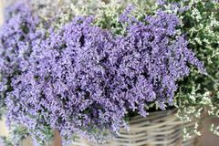 In a wicker basket limonium gmelinii, statice or sea lavender flowers in lavender-blue color in the garden shop. Horizontal. Close-up stock photos