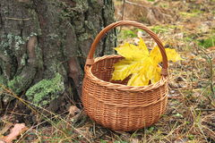 Wicker basket with a maple leaf in a pine forest Royalty Free Stock Photography