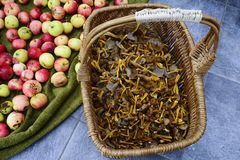 Wicker basket with mushrooms craterellus tubaeformis and apples Stock Image