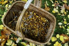 Wicker basket with mushrooms craterellus tubaeformis Stock Photography