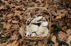 Wicker basket with mushrooms Stock Images