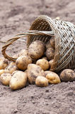Wicker basket with organics potatoes Stock Images
