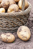 Wicker basket with organics potatoes Royalty Free Stock Photo