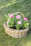 Wicker basket of pink persian buttercup flowers. Royalty Free Stock Photo