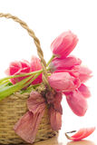 Wicker basket with pink tulips inside Royalty Free Stock Photo