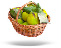 Wicker basket with quince and leaves isolated over Royalty Free Stock Images