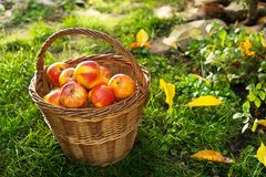 Wicker Basket with Red Apples. In the Garden stock image