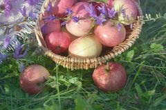 Wicker basket with red apples and lilac wildflowers on the grass close up stock photography