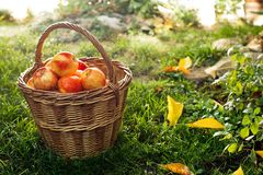 Wicker Basket with Red Apples stock photos