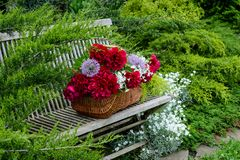 Wicker basket with red peonies on a wooden bench in a spring gar. Den Royalty Free Stock Photo