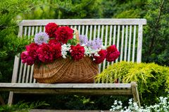 Wicker basket with red peonies on a wooden bench in a spring gar. Den Royalty Free Stock Image