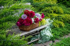 Wicker basket with red peonies on a wooden bench. Wicker basket with red peonies on a wooden bench in a spring garden Royalty Free Stock Image