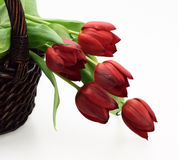 Wicker basket with red tulips. Wicker basket with fresh red tulips isolated Stock Photography