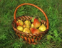 Wicker basket with rich ripe pears on green grass Stock Images
