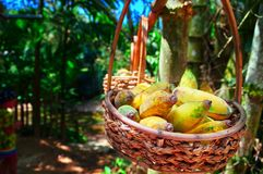 Wicker basket with ripe bananas hangs on tree branch. Copy space. royalty free stock images