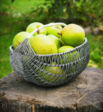 Wicker basket of ripe pears  outdoors Stock Photos