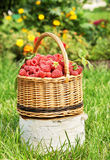 Wicker basket with ripe red raspberry Royalty Free Stock Photos