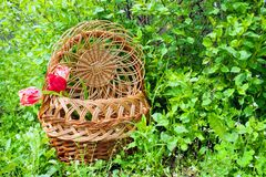 Wicker basket with tulips on a green backgound royalty free stock images