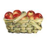 Wicker basket of veneer, filled with fresh red apples. Hand drawn watercolor painting on white background Royalty Free Stock Photo