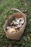 The Wicker basket of wild mushrooms standing on the grass in the woods Royalty Free Stock Photography