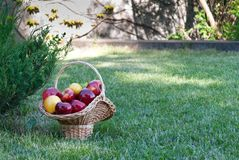 Wicker basket is woven of vines with apples on the background of green grass, yellow red ripe fruits, vine straw, bush spruce juni stock photography
