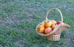 Wicker basket is woven of vines with yellow apples on the background of green grass, yellow ripe fruits, wicker straw, stone fence royalty free stock photography