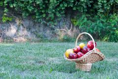 Wicker basket is woven of vines with yellow red apples on the background of green grass, yellow red ripe fruits, wicker straw royalty free stock photos