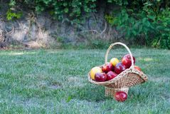Wicker basket is woven of vines with yellow red apples on the background of green grass, yellow red ripe fruits, wicker straw stock image