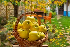 Wicker Basket with Yellow Apples stock photography