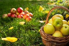 Wicker Basket with Yellow Apples royalty free stock photos