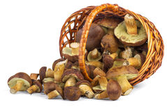 Wicker basket with yellow boletus mushrooms near. Royalty Free Stock Photography