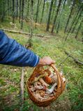 Basket full of various kinds of mushrooms in a forest Royalty Free Stock Photography