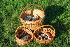 Wicker baskets with mushrooms on green grass Stock Images