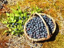 Wicker with blueberry in forest, Lithuania Royalty Free Stock Image