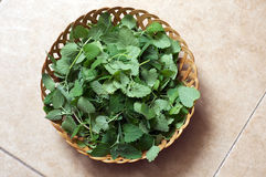 Wicker bowl of fresh catnip Royalty Free Stock Photography