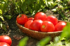 Wicker bowl with ripe tomatoes Stock Photos