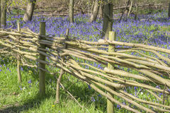 Wicker Fence around Bluebell Wood Royalty Free Stock Images